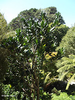 Pennantia baylisiana tree - Wellington Botanic Garden, New Zealand