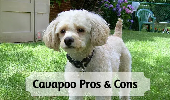 pros-and-cons-owning-a-cavapoo