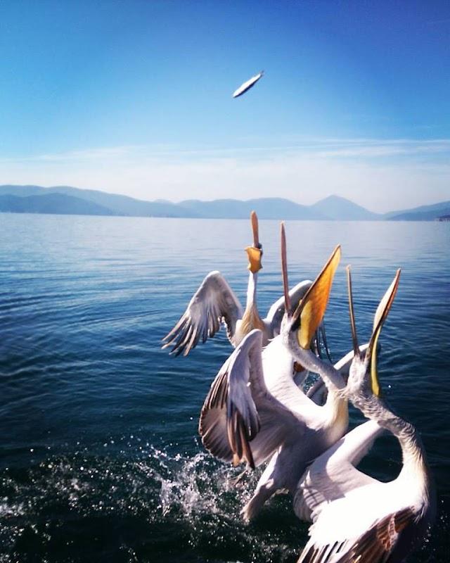 Bild des Tages - Pelikane fassen Futter im Prespa-See