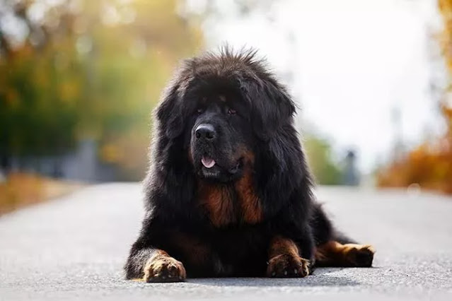 Most expensive dog breeds - Tibetan Mastiff