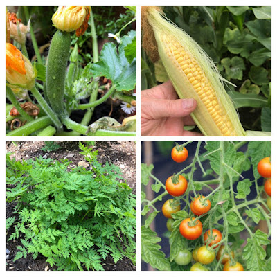 garden grown veg for soup: courgette, sweetcorn, tomatoes, sweet cicely herb