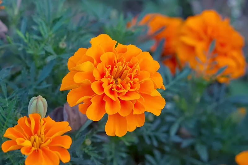 Flower Homes: Marigold Flowers