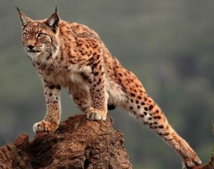 iberian lynx facts and latest images all wildlife photographs. Black Bedroom Furniture Sets. Home Design Ideas