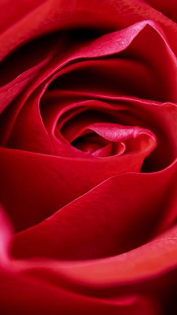 Wallpaper macro red rose
