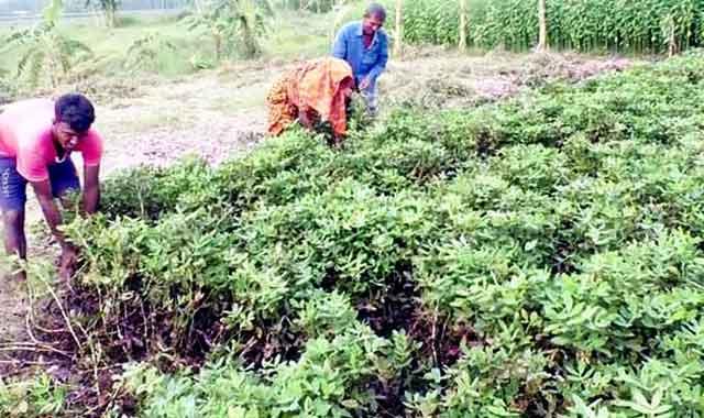 Almond bumper yield in Phulchhari Char