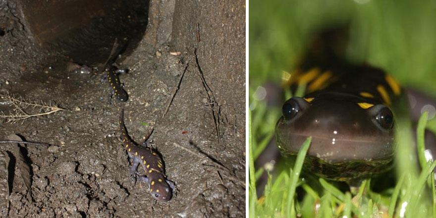 Тоннель для саламандр в Новой Англии