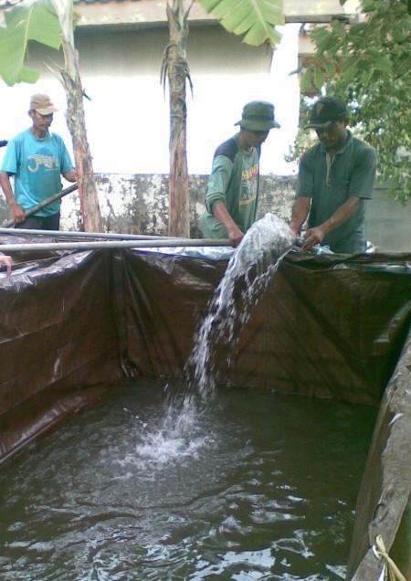 Budidaya Pembesaran Ikan Lele Kolam Terpal