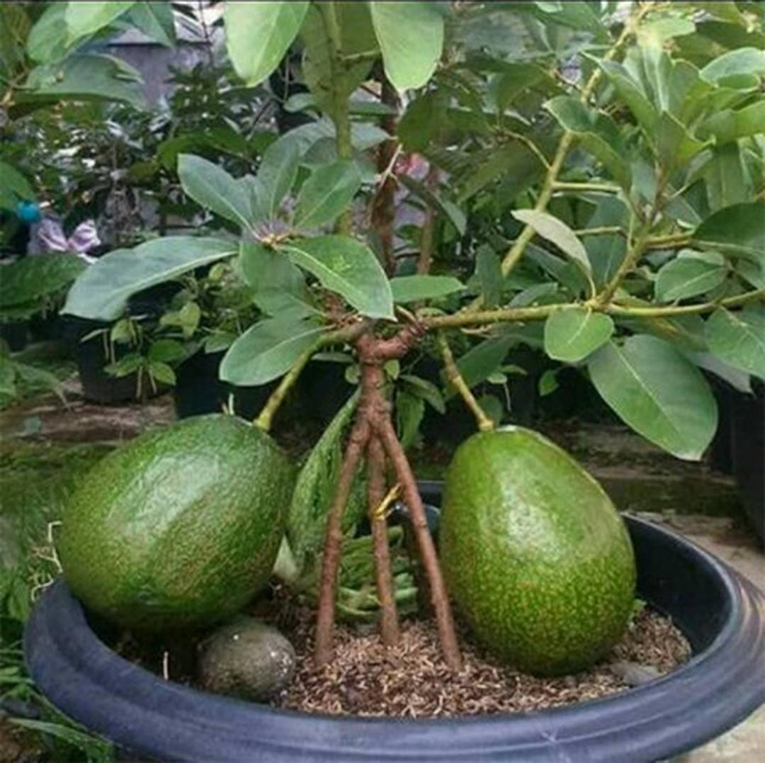 Melayani Eceran! Bibit Buah Alpukat Markus Hawaii Jumbo Kendil Kota Jakarta #Jual bibit buah
