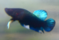 Betta Fighter Super