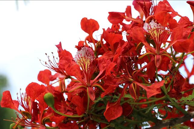 Cara Menanam Bunga Flamboyan Bunga Sejuta Keindahan