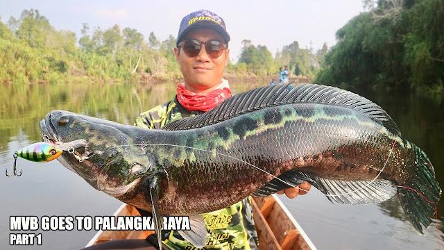 Ikan toman besar
