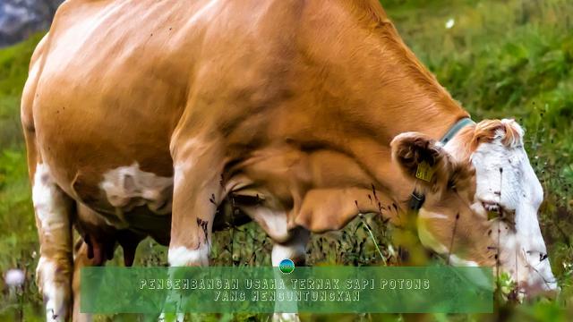 Pengembangan Usaha Ternak Sapi Potong yang Menguntungkan