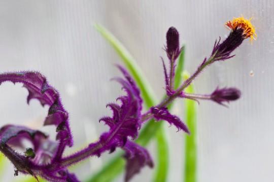 Velvet plant photo