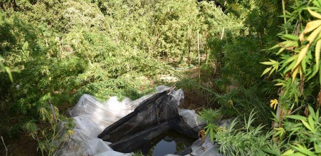 Εντοπίστηκε φυτεία με 119 δενδρύλλια κάνναβης στη Πυλία