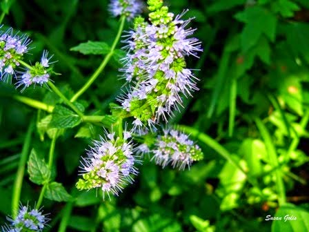 Yard and Garden Secrets: Grow Mint for Home Garden-Information