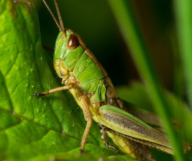 Types of grasshoppers. How to get rid of Grasshoppers