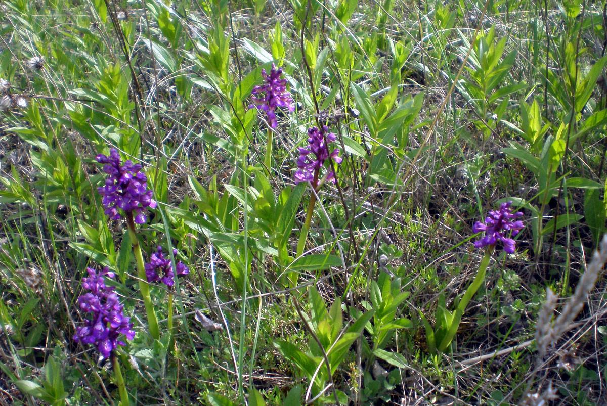 Крымская орхидея