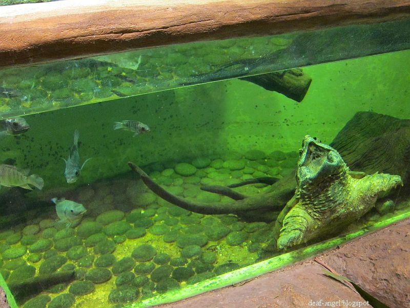ku di halaman rindu: alligator snapping turtle & death