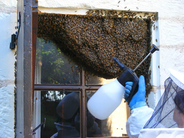 Spraying a feral honey bee colony with water prior to removing them, Indre et Loire, France. Photo by Loire Valley Time Travel.