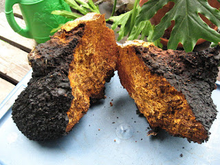 http://www.vikiianordic.com/benefits-of-chaga