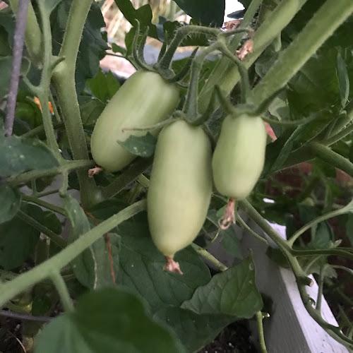 Inca Jewel Tomatoes