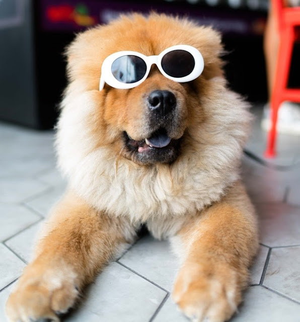 Dog with sunglases-