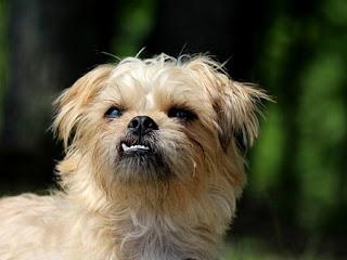 اسعار الكلاب البلجيكى وصورها