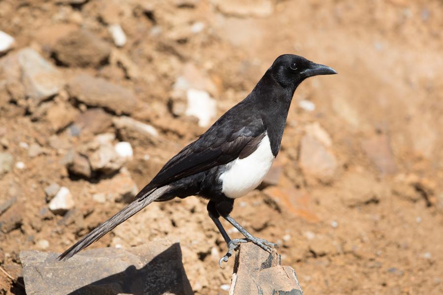 Arabian Magpie – Billasimer