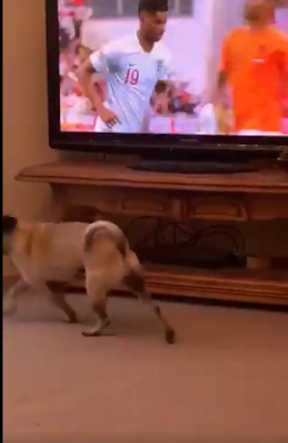 Netherlands 3 :1 England: Dog Celebrates When Rashford Scored A Penalty, Twitter Reacts