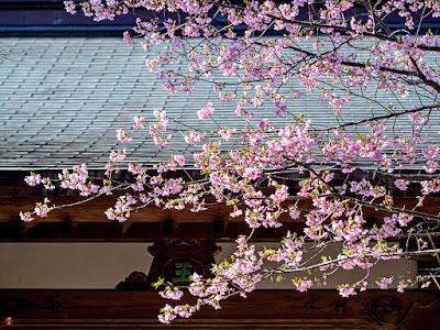 Kawazu-zakura (Cerasus × Kanzakura 'Kawazu-zakura') flowers: Engaku-ji