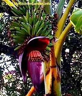 Banana male flower part