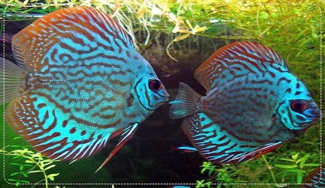 Supplier Bibit dan Ikan Hias Discus Terbesar di Yogyakarta