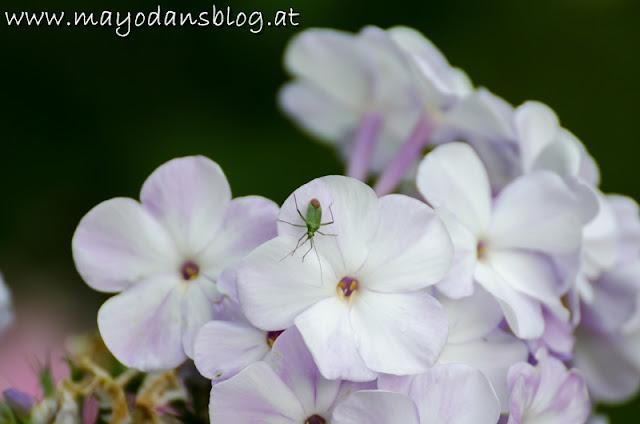 Phlox mit Käfer