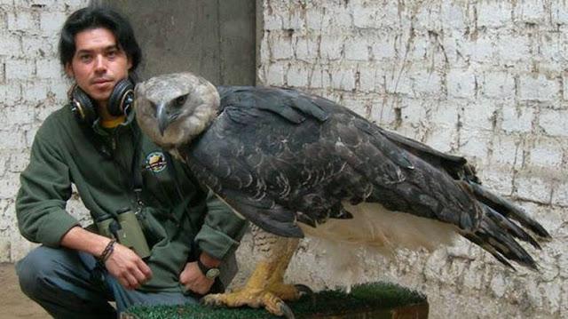 Άρπυια: Ο ισχυρότερος αετός στον κόσμο προκαλεί δέος (βίντεο)