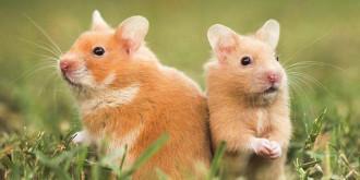 6+ Cara Mengawinkan Hamster dengan Benar (Terbukti Berhasil)
