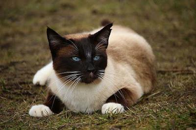 القط السيامي
