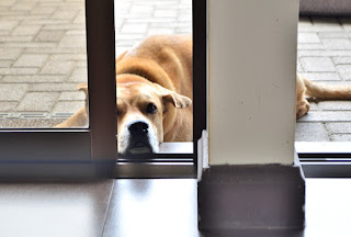 Dog waiting to come inside house