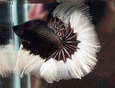 Halfmoon Black White RIM