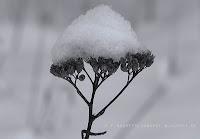 http://fineartfotografie.blogspot.de/2014/01/schneebedeckt-pflanzen-im-winter.html