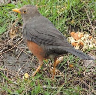 Kisaran Harga Burung Punglor Gunung Saat Ini Paling Baru