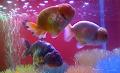 8 Cara Merawat Ikan Mas Koki di Aquarium Agar Cepat Besar