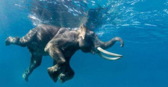 Elefante perdido no meio do mar dá trabalho a equipe de resgate - Capa