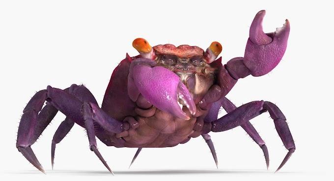 Vampire Crabs 99 [Care, Setup, Habitat, Tank Mates, Size]