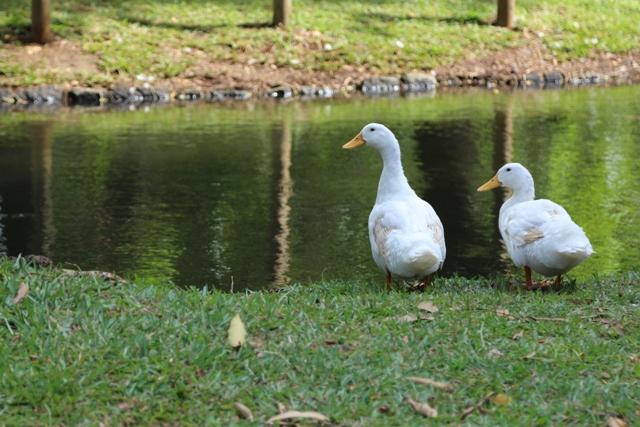 Estanques y patos en Pamplemousses