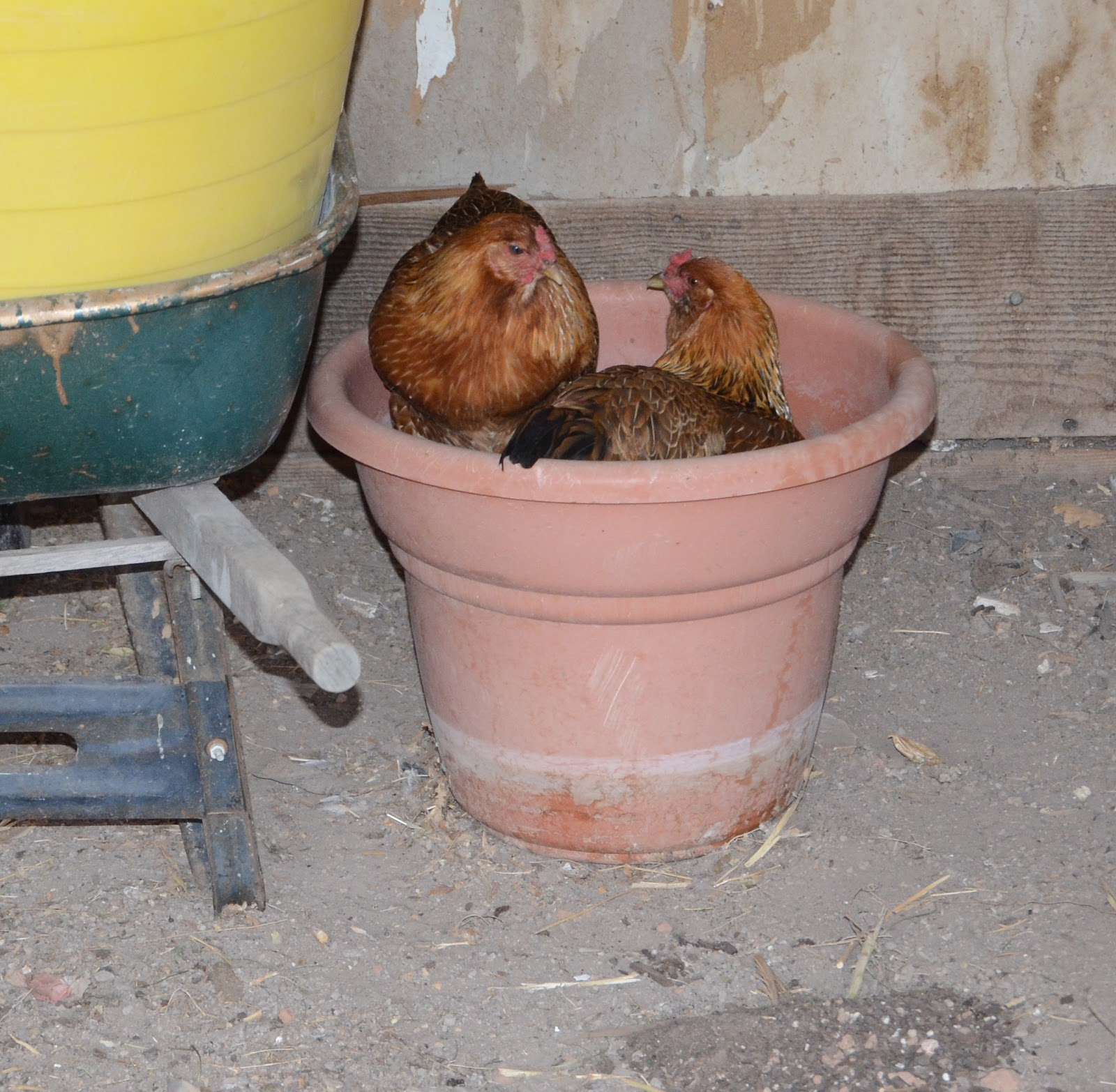 Backyard Chickens: All Cooped Up - Bless This Mess