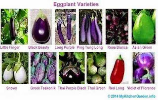 Eggplant Varieties and types