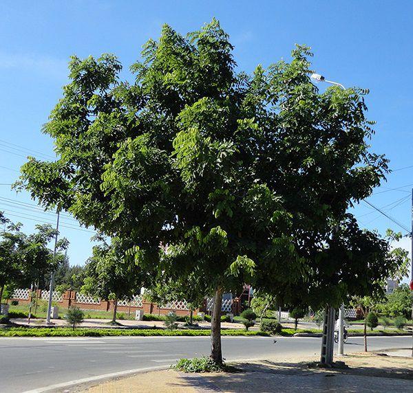 Cây Sao Đen - Hopea odorata - Nguyên liệu làm thuốc Chữa bệnh Mắt Tai Răng Họng
