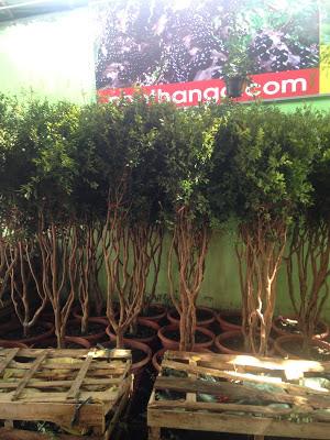 Đăng tin rao vặt: Giá trị phong thủy của cây nho thân gỗ HANG%2BV%25E1%25BB%2580