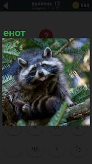 На дереве, на одной из веток сидит енот и высунул свой язык