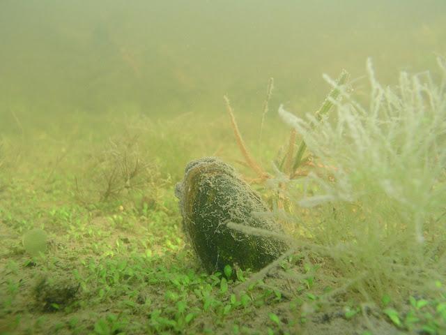 Isohko, ruskeakuorinen simpukka osittain näkyvissä pohjasedimentissä. Simpukan ympärillä pohjassa kasvaa matalaa vesikasvillisuutta.